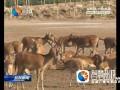 大丰麋鹿产仔创记录 种群数量突破四千头