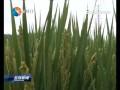 创新水稻植保技术 助力农户提质增效