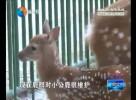 """动物园里添新丁 两只小鹿""""萌萌哒"""""""