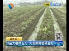 2亩大棚挣五万 火龙果种植效益好