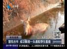 警民合作   成功解救一头遇险野生麋鹿