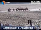"""10头麋鹿被困鱼塘众人""""渔网铺路""""搭救"""