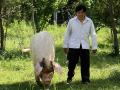 """80岁""""猪坚强""""腿伤加重卧地不起,死后或被制成标本"""