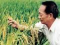 晚稻亩产911.7公斤!袁隆平团队双季稻成功冲击纪录