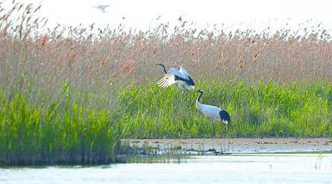 5月5日下午4:30,李春荣和陈国远再次来到丹顶鹤8号的繁殖巢,通过无人