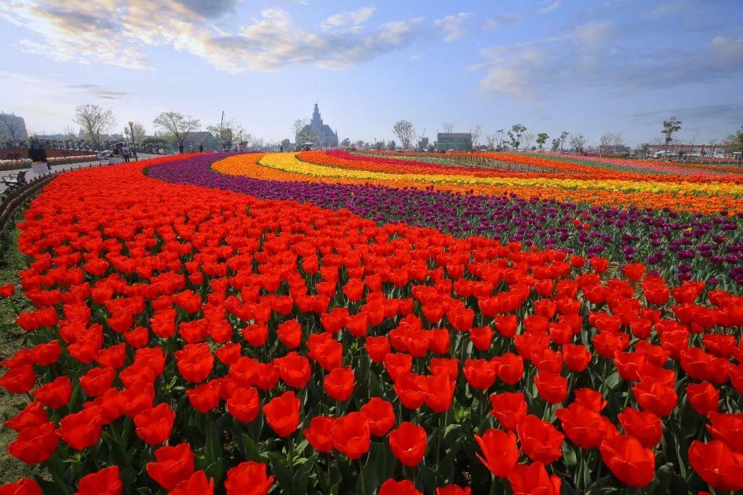 郁金香都开啦,荷兰花海最美赏花季来临!