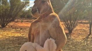 澳大利亞網紅袋鼠去世 曾因一身肌肉走紅網絡