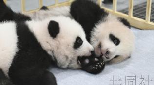 日媒:上野动物园游客翘首期盼大熊猫双胞胎亮相