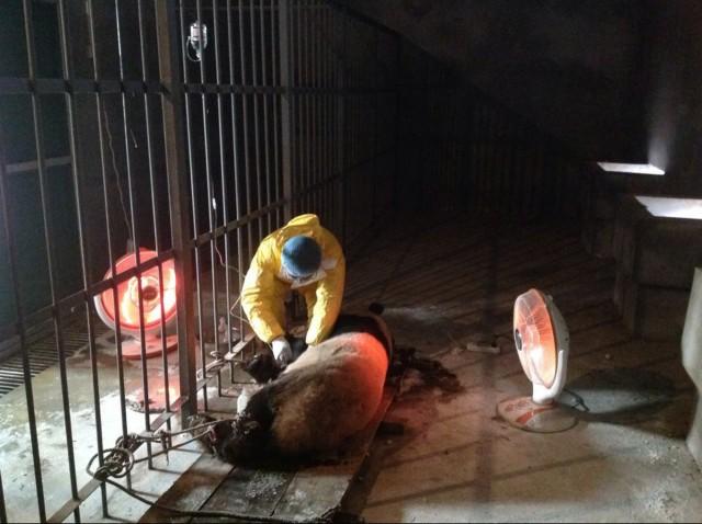 4只大熊猫先后死亡.目前,该中心没有新的大熊猫感染病例. 高清图片