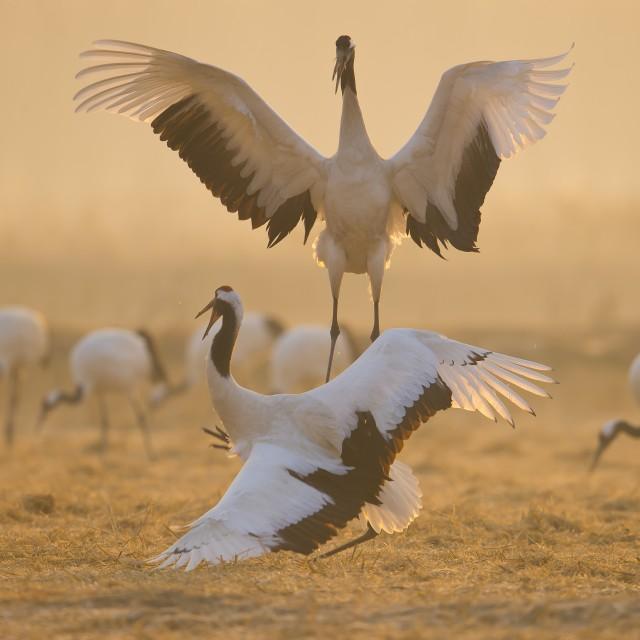 大内高手,一击锁喉 白鹤亮翅 由于丹顶鹤天性怕人,再加上盐城丹顶鹤自