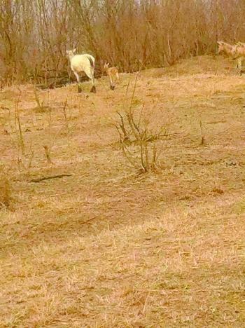 大丰国家级麋鹿自然保护区却