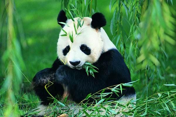 """俄媒称俄动物园希望引进大熊猫:""""嗨朋友,我们那一样好"""""""