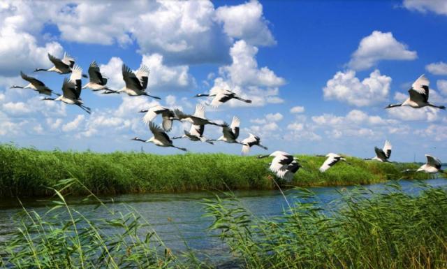 鹤舞翩翩(丹顶鹤湿地生态旅游区)