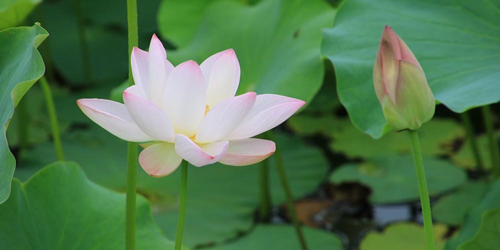 聚龍湖畔荷花盛開,花香四溢為炎炎夏日增添詩意