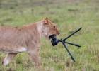 肯尼亚母狮突发好奇心 咀嚼相机镜头