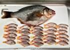 网友买了一条海鲫 意外发现肚子里30多条小鱼