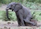 笑cry!大象奇痒难耐蹲在石头边蹭屁屁