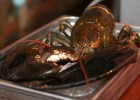 110岁巨型龙虾曝光 被送到水族馆养老