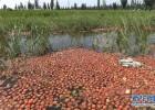 宁夏西红柿每斤收购价仅1毛 农户倾倒入渠