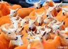 奇葩!男子为防止羊被盗 将800只羊喷成橙色