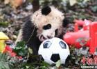 8只熊猫宝宝滚滚拜年 卖萌贺新春