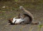 英国两松鼠为争食大打出手似忍者决斗