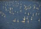 山东荣成天鹅湖吸引数万只大天鹅越冬