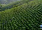 万亩茶园美如画 青山焕然变金山