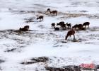 可可西里数千只藏羚羊雪中觅食