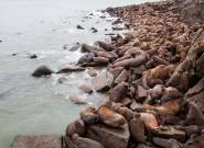 俄罗斯沙滩大批海象堆叠如山 景象壮观