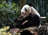 重庆大熊猫迎来35岁生日 共有114只