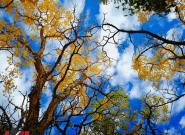 世界最高海拔胡杨林秋景迷人 苍凉间尽显壮美