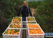 江西南丰蜜橘进入采摘旺季