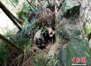 四川现野生大熊猫 发现时正在村民房前睡觉