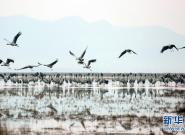 贵州草海:越冬候鸟陆续北迁