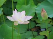 聚龙湖畔荷花盛开,花香四溢为炎炎夏日增添诗意
