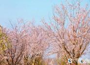 2019盐城大洋湾一带一路国际樱花月