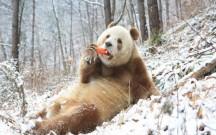 """萌!棕色大熊猫七仔见雪变身""""雪花熊"""""""