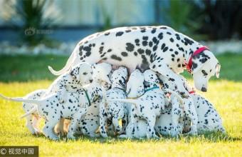 澳大利亚斑点狗妈妈一次生18只小狗破纪录