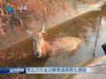 警民合作成功解救遇险野生麋鹿