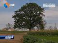 百年皂角树  矗立成一景