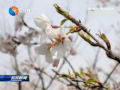 【花开盛世 绿满盐城】(1):生态大洋湾  浪漫樱花雨