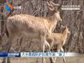 """大丰麋鹿保护区猪年添""""新丁"""""""