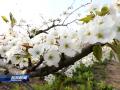 【花开盛世 绿满盐城】(6)千树香雪写春意 万亩梨园惹人醉