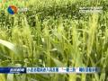 """小麦赤霉病进入高发期  """"一喷三防""""确保夏粮丰收"""