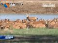 麋鹿产仔进入收尾期  今年将产仔鹿400头