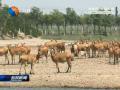 大豐:野外麋鹿種群數世界第一