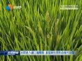 水稻进入破口抽穗期   加强病虫害防治刻不容缓