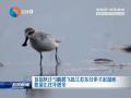首批秋迁勺嘴鹬飞抵江苏东台条子泥湿地 数量比往年增多