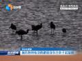 瀕危物種卷羽鵜鶘現身東臺條子泥濕地